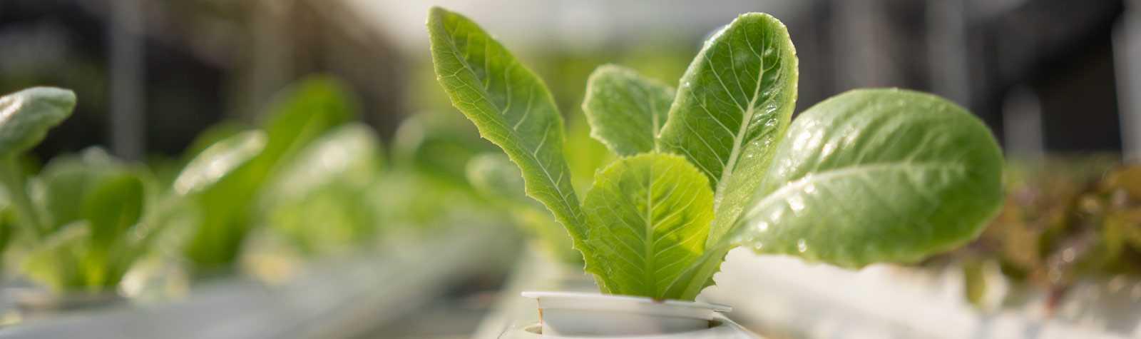 Cultivo hidropónico: agricultura sin suelo y con menos agua