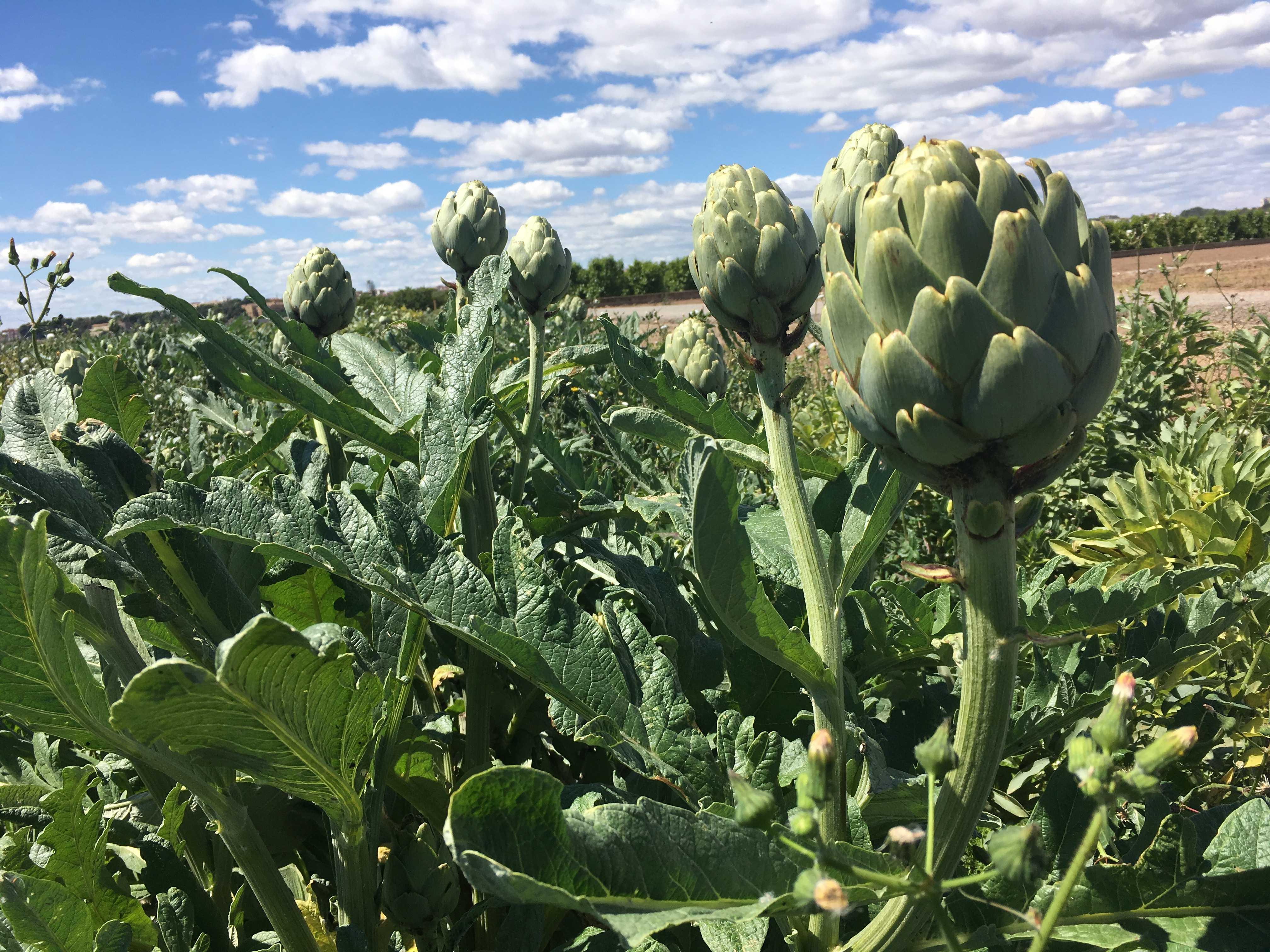 Nuevos productos de alcachofa que facilitarían su consumo