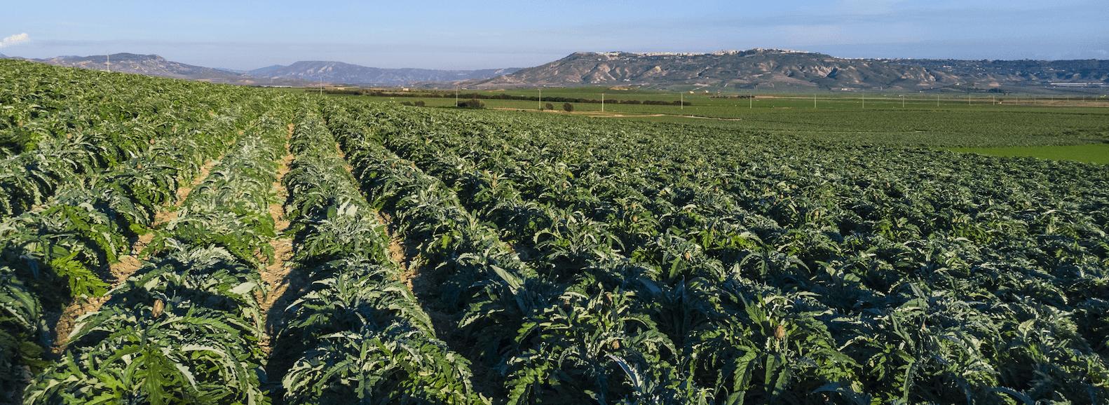 Los productores de alcachofa esperan superar las 220.000 toneladas este año