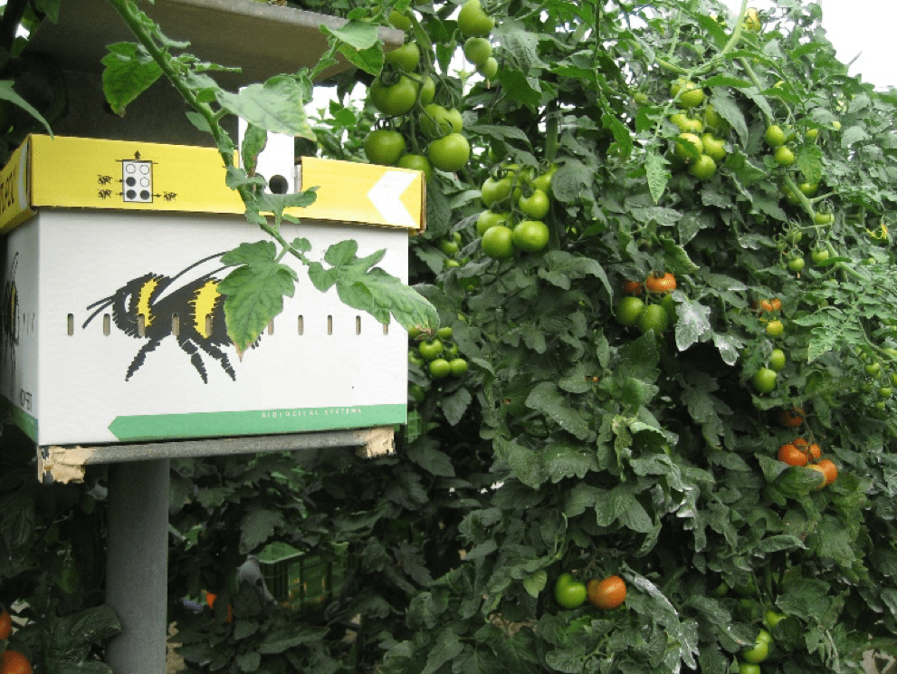Polinización natural mediante el uso de abejorros