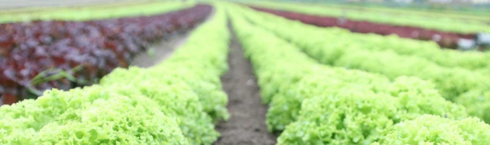 Una de cada cinco verduras exportadas por España son murcianas