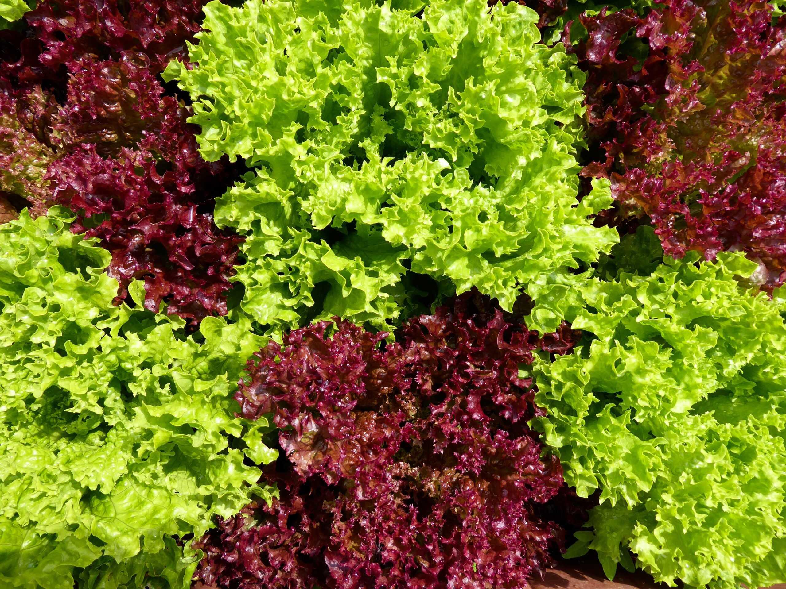 Lechugas y verduras de hoja, ¿sólo para hamburguesas y ensaladas?