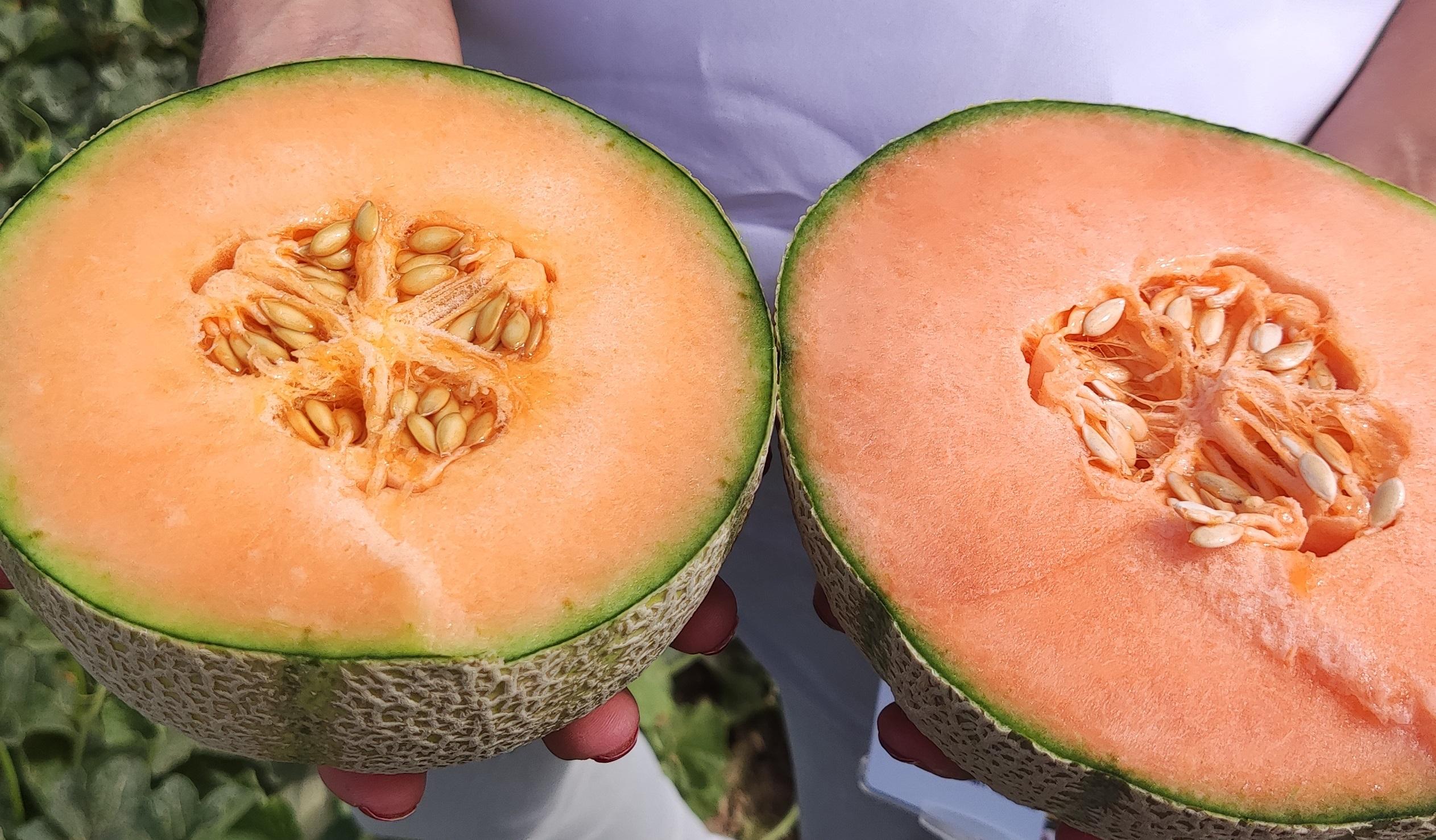 I+S Pro   Nuevas variedades de melón y sandía